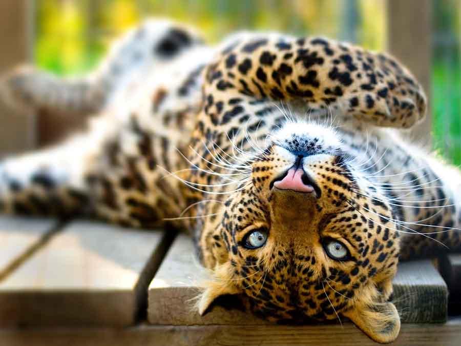 leopard lying on her back at Animal Park at the Conservators Center Burlington NC